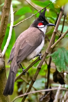 Red-whiskered_Bulbul_(Pycnonotus_jocosus)